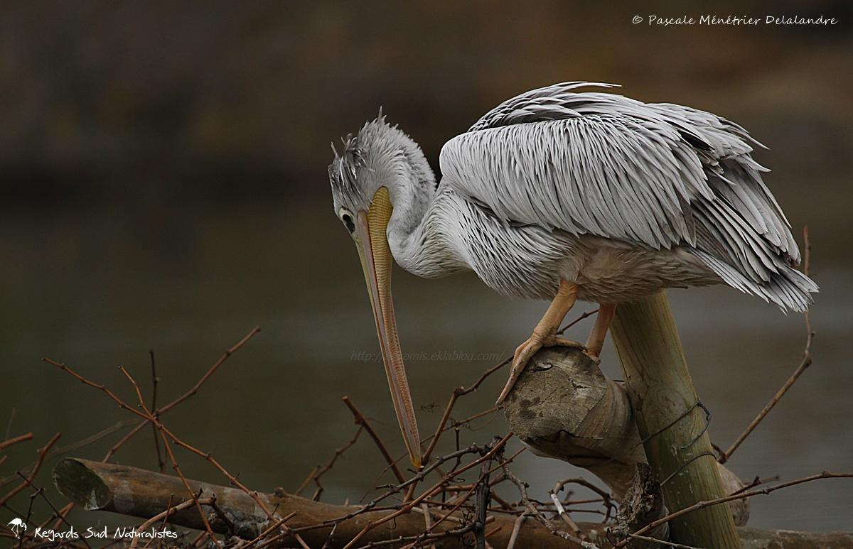 Inspection du nid d'un Pélican gris (ou pélican à dos rosé)
