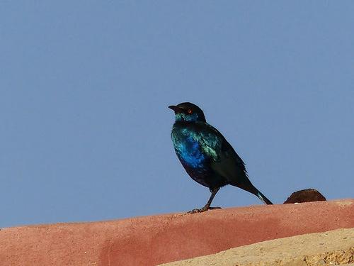 un superbe oiseau endémique, le metallik ou starling