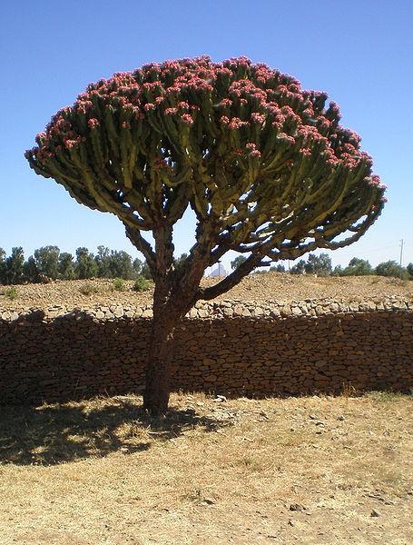 Cactus candélabre cactus
