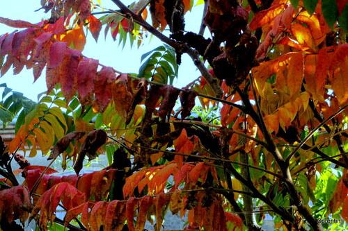 Les feuilles du sumac en automne
