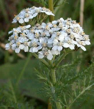 041102-achillea-millefolium