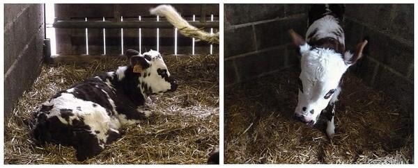 Oh ! La vache !
