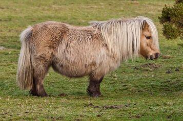 """Résultat de recherche d'images pour """"Shetland poney"""""""