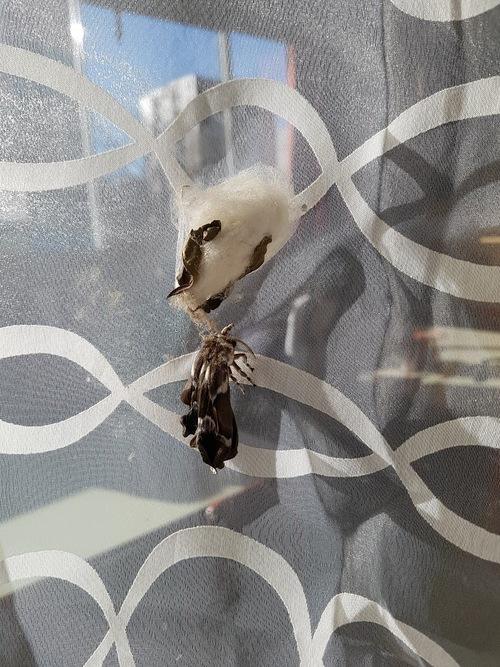 Elevage en classe de papillons