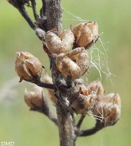 Verbascum pulverulentum  -  molène pulvérulente