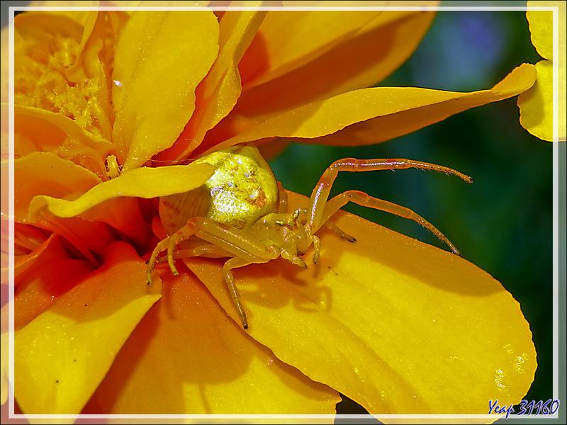 Araignée crabe Thomise enflée (Thomisus onustus) - La Couarde - Île de Ré - 17