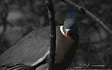 Pigeon ramier - p159