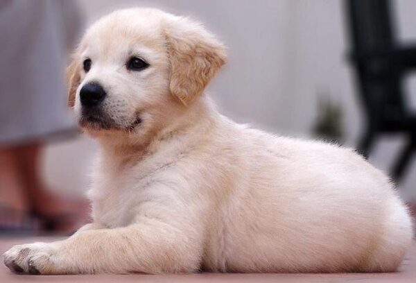 Races de chiens:  Golden retriever
