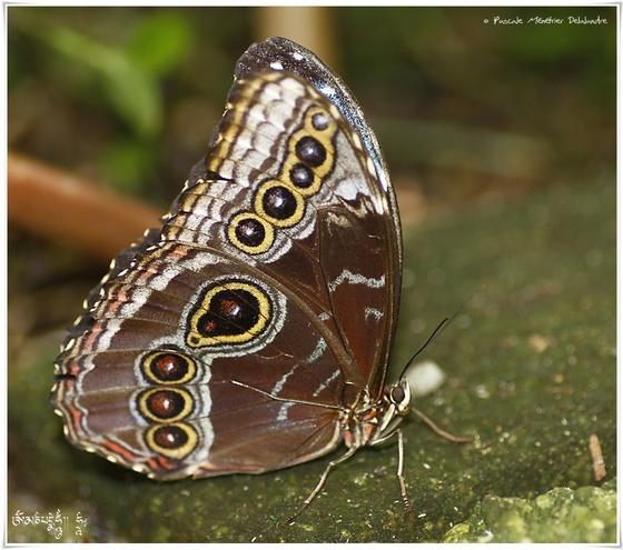 Morpho - Nymphalidae