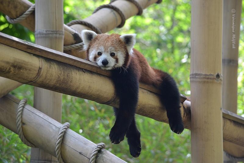 Ménagerie du Jardin des Plantes : Panda Roux