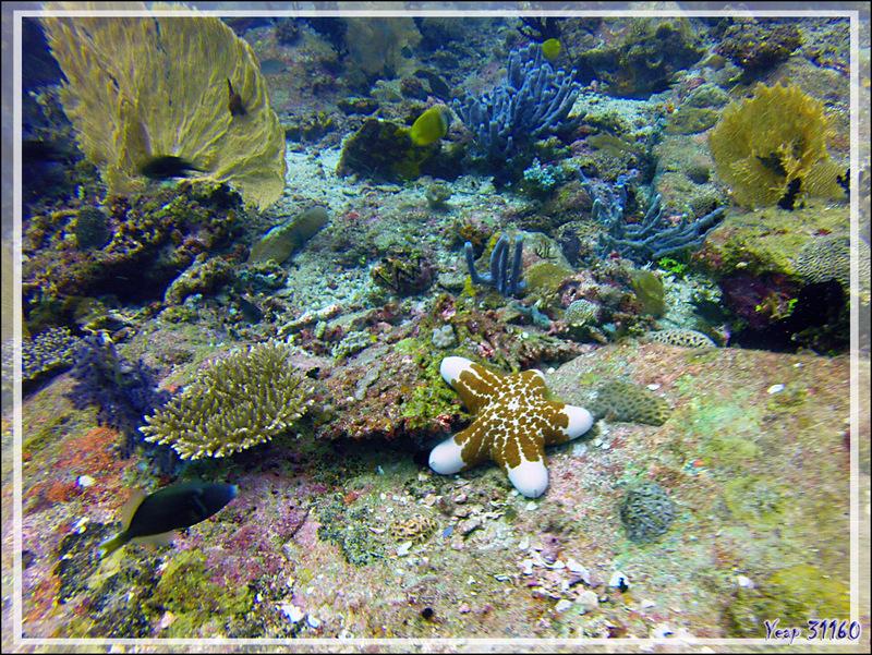 Etoile-coussin granuleuse, Granular starfish (Choriaster granulatus) - Nosy Tsarabanjina - Archipel des Mitsio - Madagascar
