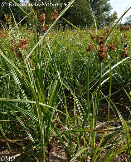 Cyperus eragrostis - souchet vigoureux