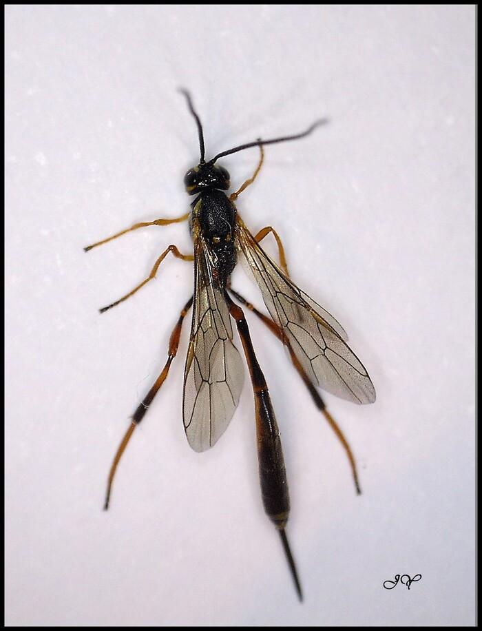 Ichneumonidae.