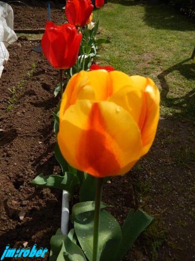 Le Jardin et la culture de la tulipe