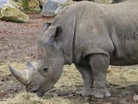 Rhinocéros : Pairi Daiza