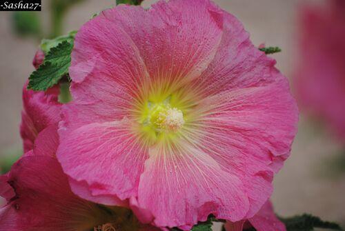 Hibiscus Rose.