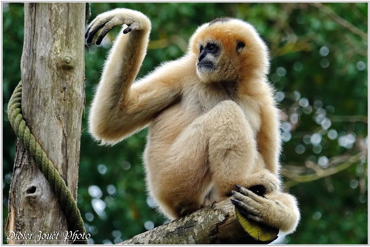 Gibbon à Favoris Blancs (1) - Nomascus leucogenys