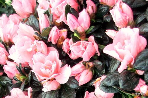 Les fleurs de mes azalées roses (2)
