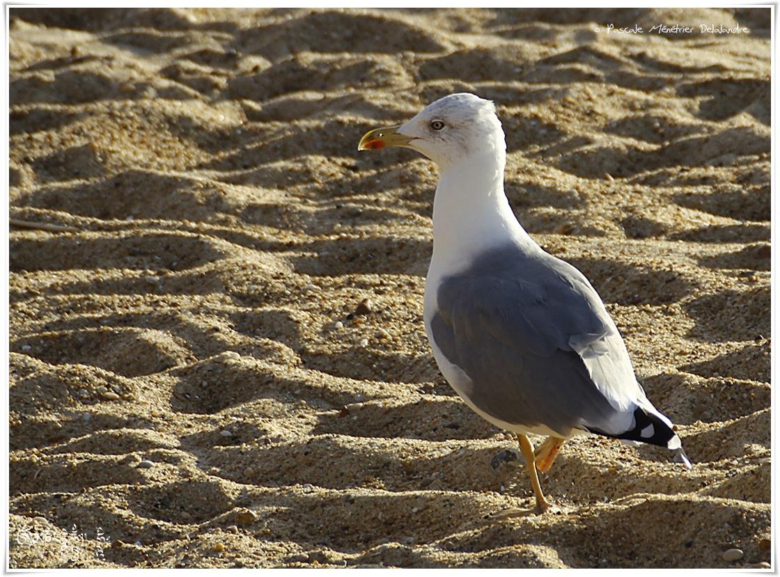 Goéland cendré - Larus canus - Mew Gull