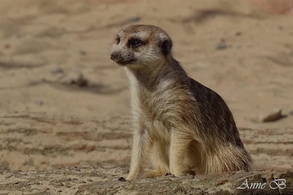 Suricat ou sentinelle du désert
