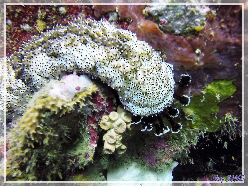 Concombre de mer Holothurie rayée ou tiretée, Blackspotted sea cucumber, Leopard sea cucumber (Pearsonothuria graeffei) - Spot Betalinjona - Nosy Tsarabanjina - Archipel Mitsio - Madagascar
