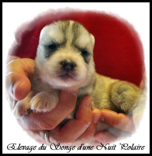 Chiot Husky Femelle 1 (12j)