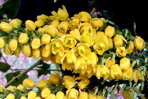 Mon mahonia: il fleurit!