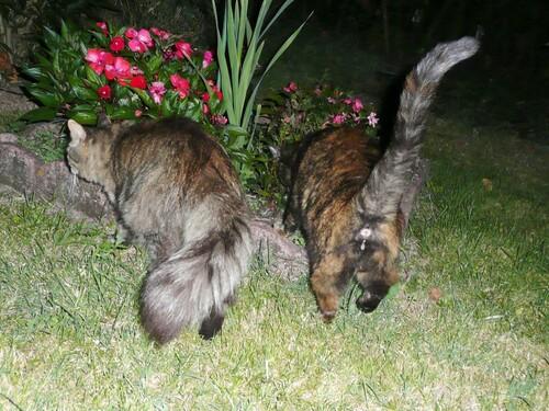 Jeux nocturnes de chats