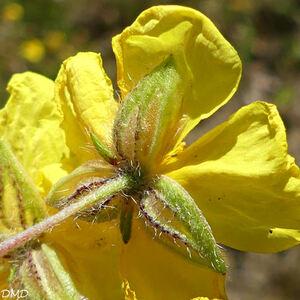 Helianthemum nummularium  -  hélianthème à feuilles de nummulaire