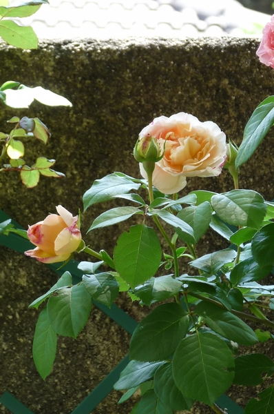 Les roses de Pappy !!!!