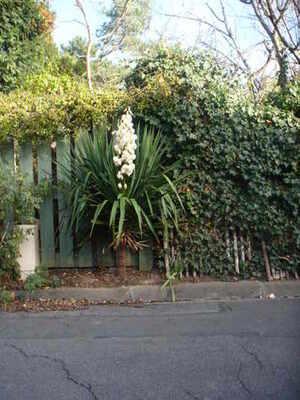 yucca en fleur
