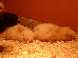 3 nouveaux poussins ce matin