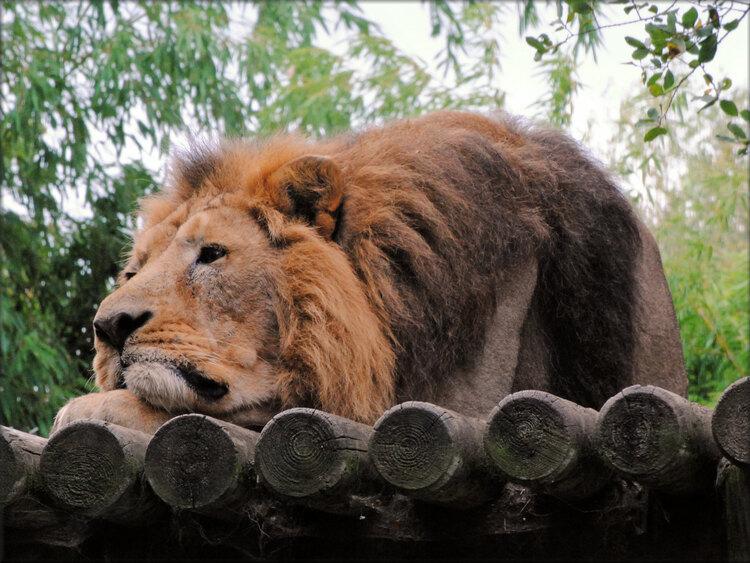 Photo de Lion d'asie - Zoo de la Boissière du Doré
