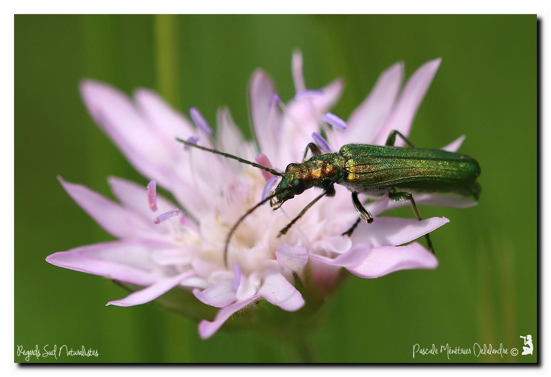 Oedemera virescens ♀