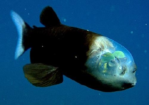 Un poisson des grands fonds