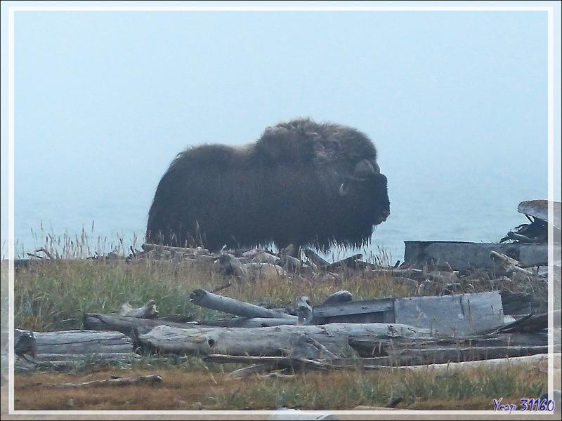 Bœuf musqué, Musk ox (Ovibos moschatus) - Pauline Cove - Herschel Island (Qikiqtaruk) - Yukon - Canada