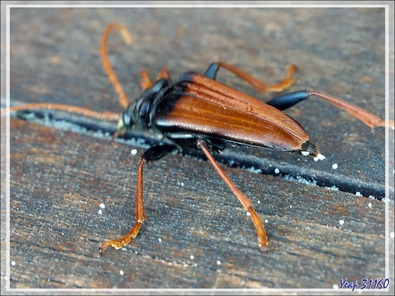 Beau capricorne malgache Beau capricorne malgache (Mastododera nodicollis) - Nosy Tsarabanjina - Archipel Mitsio - Madagascar