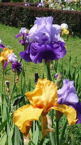 Iris-de-mai-066.JPG
