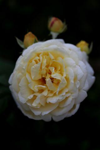 Roseraie : évolution du massif jaune