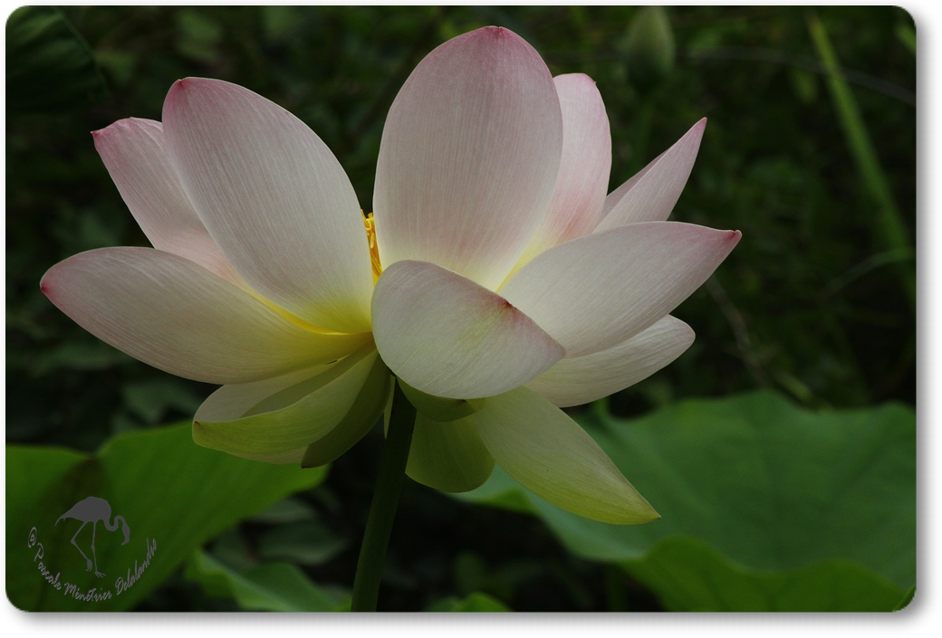 Lotus Sacrés...