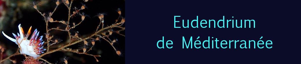 eudendrium de Méditerranée