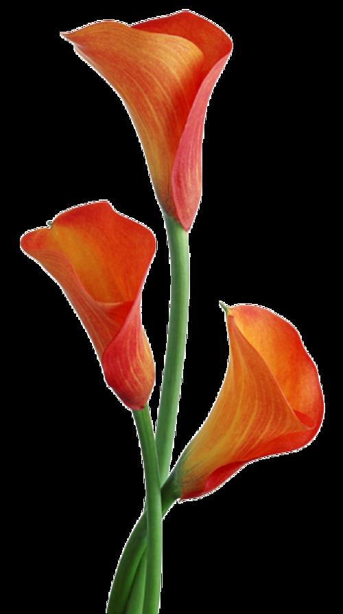 Arums 1