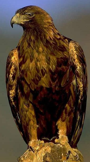 Golden eagle- God sent one today.  It made my day!!: