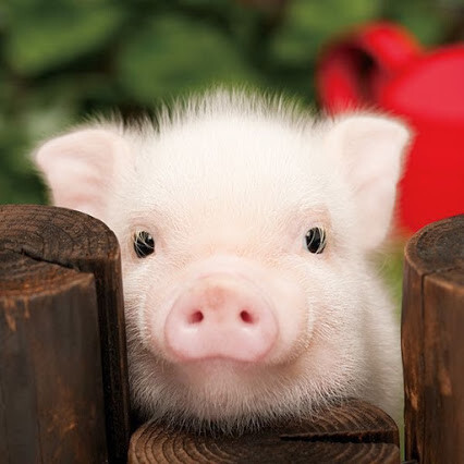 Beau petit cochon rose