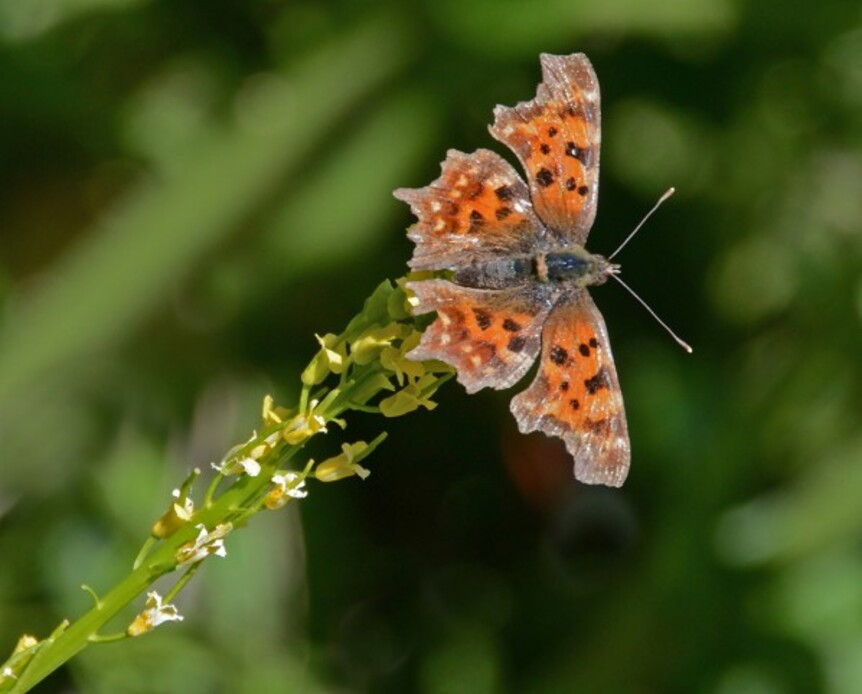 Insectes-papillons-5-6481-a.jpg