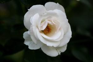 Aspirine-Rose4.jpg