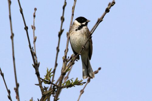 Bruant des Roseaux (Common Reed Bunting)