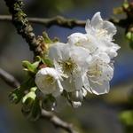 La photo du moment...fleurs de cerisier