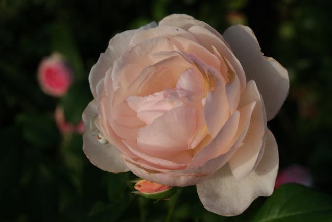 Rose Héritage de David Austin
