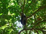 Rincon de la vieja singe capuccino 2